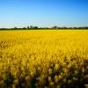 Colza - Oilseed Rape crop