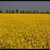 Yellow explosion