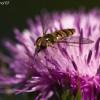 Syrphidae Latreille