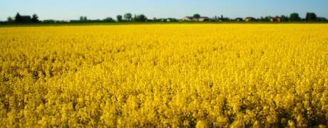 Colza - Oilseed rape crops